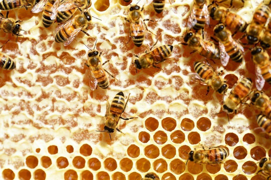 les abeilles emmagasinent le miel dans les alvéoles des rayons de cire