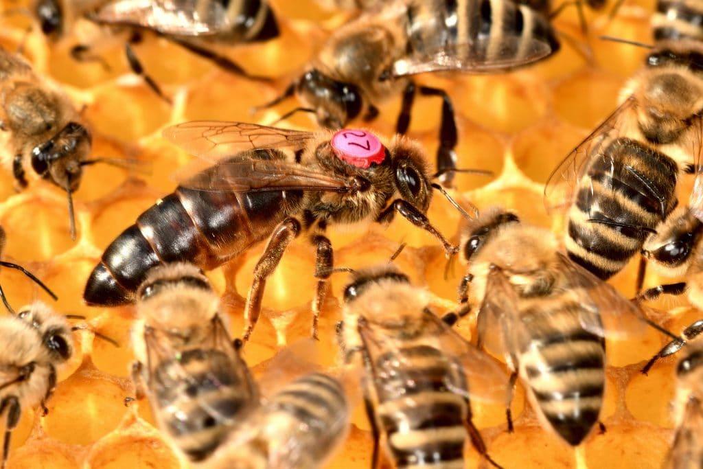 Cycle de vie d'une reine abeille