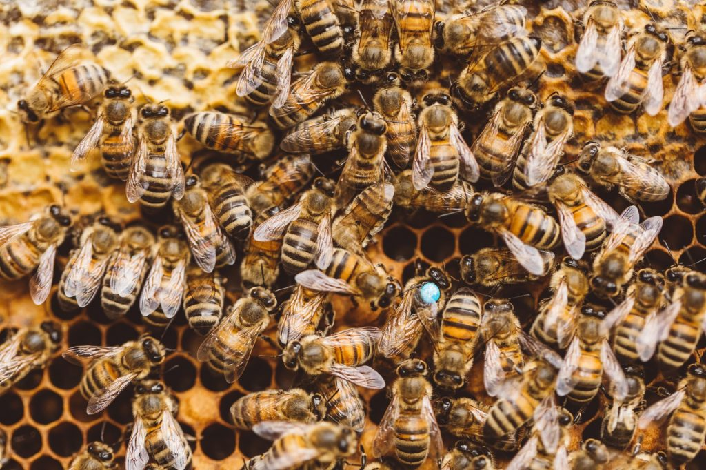 Honey bees and queen bee on honeycomb in hive