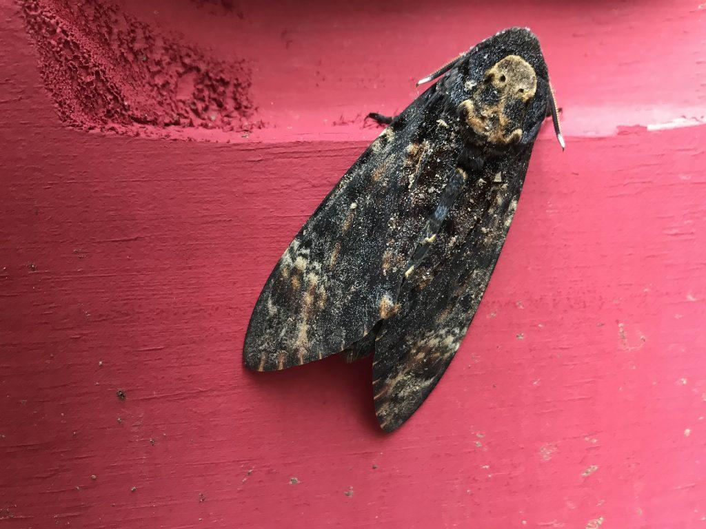 le sphinx tête de mort est un grand papillon de nuit qui apprécie de se nourrir du miel des abeilles